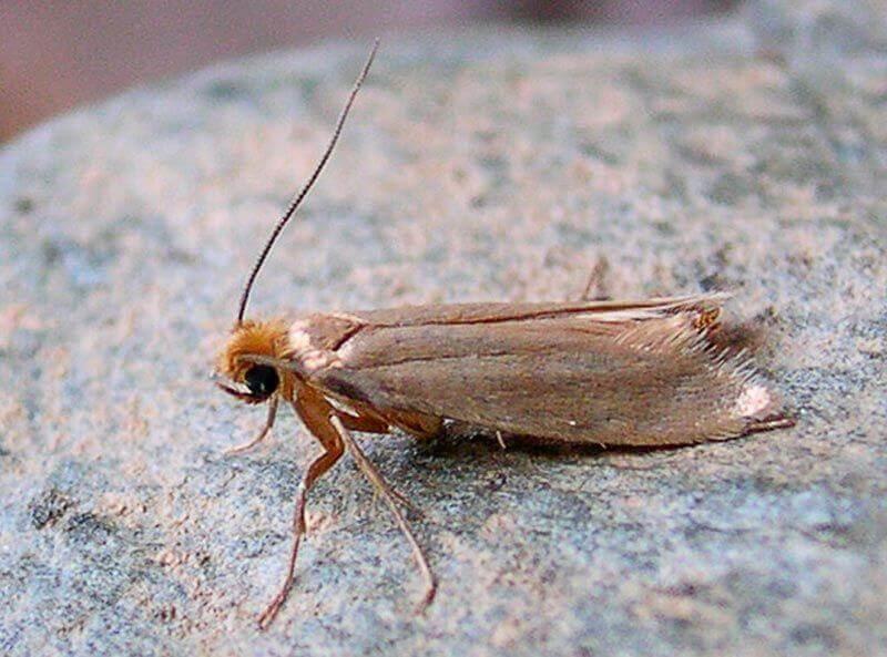 Klædemøl (Tineola bisselliella)