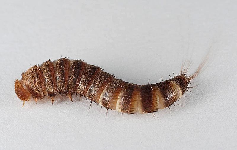 Pelsklanner larve