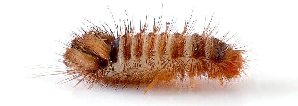 Tæppeklannerlarve